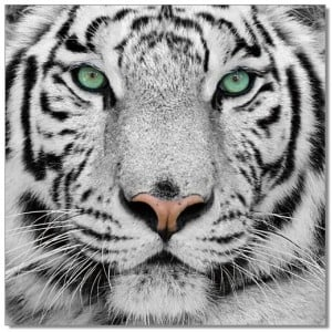 Premium Acrylic Wall Art Black & White Tiger-SB-61099 by J&M Furniture