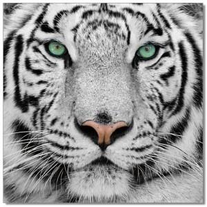 Premium Acrylic Wall Art Black & White Tiger-SB-61099 by J&M Furniture